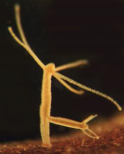 불멸 히드라 생물에 대한 이미지 검색결과