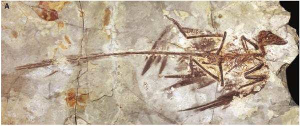 미크로랍토르 화석 출처: Reconstruction of Microraptor and the Evolution of Iridescent Plumage