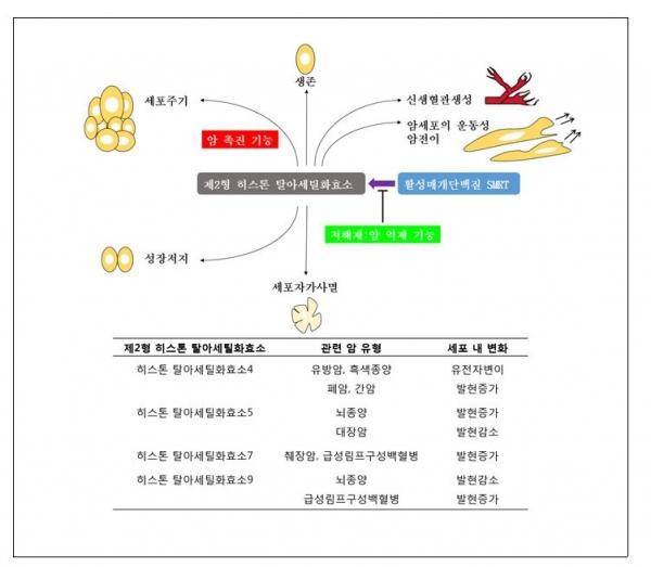 제2형 히스톤 탈아세틸화효소의 기능과 이와 관련하여 발생하는 암 유형. 출처: 한국연구재단